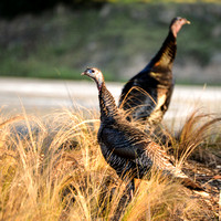 Female Wild Turkeyus