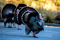 Parade of the Turkey