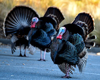 Male Wild Turkeys