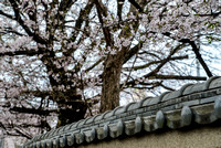Cherry blossoms over traditional wall