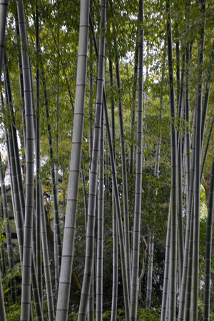 Bamboo Grove at Kodai-ji