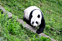 Mei Xiang on the move